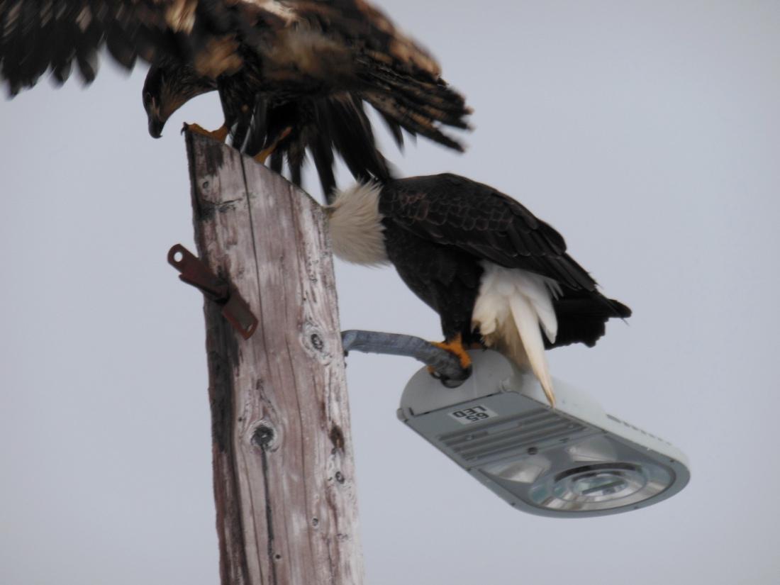 A juvenile and adult bald eagle.