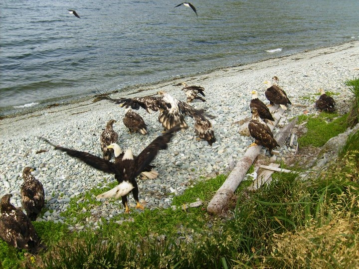 My husband, a reformed commercial fisherman, calls them vultures.